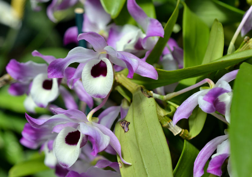 Orquidea-Dendrobium-img01
