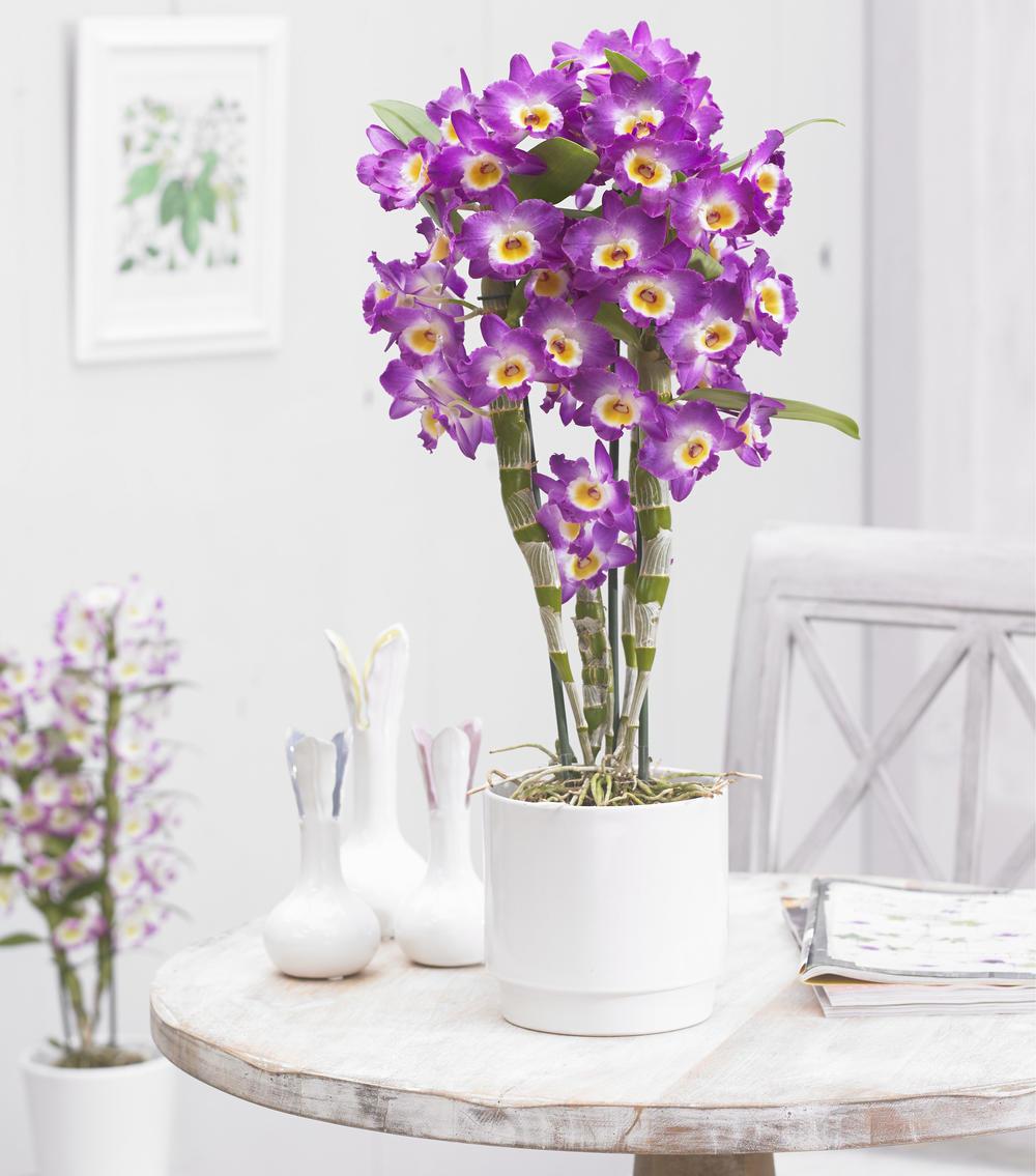 Orquidea-Dendrobium-no-vaso