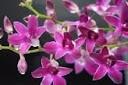 como-cultivar-orquideas-orquidea-dendrobium