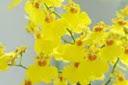 como-cultivar-orquideas-orquidea-oncidium