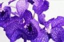 como-cultivar-orquideas-orquidea-vanda